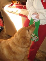 Rudy wrestles with Katie and his stocking last Christmas