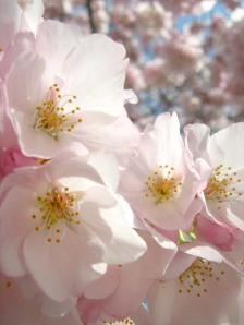 blossoms17