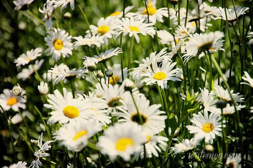 Dumbarton daisies