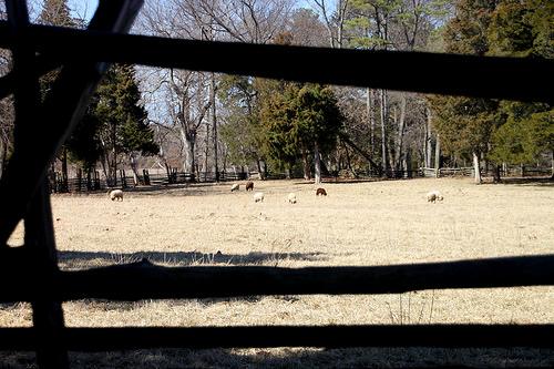 Sheep through fence
