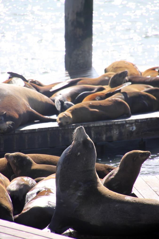 Sea lions II