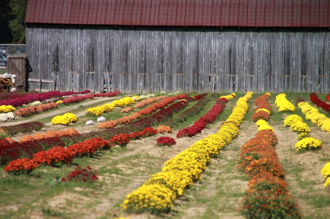 Field of mums